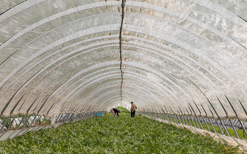 Azienda Agricola La Palazzina del Conte Guarienti a Gualtieri. Lavorazioni manuali in serra. Lavoro contadino
