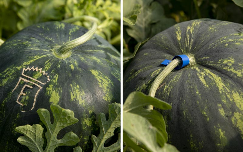 Watermelons: the marking on the skin and coloured ribbons are methods which permit harvesting only at perfect ripe